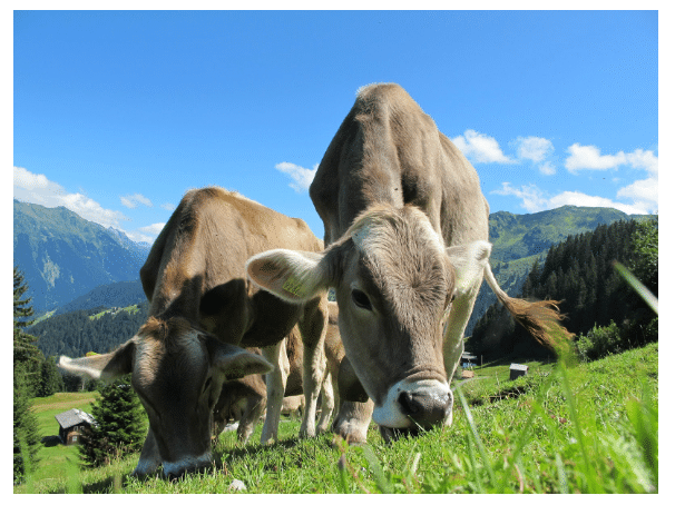 Cows eating grass in the mountains